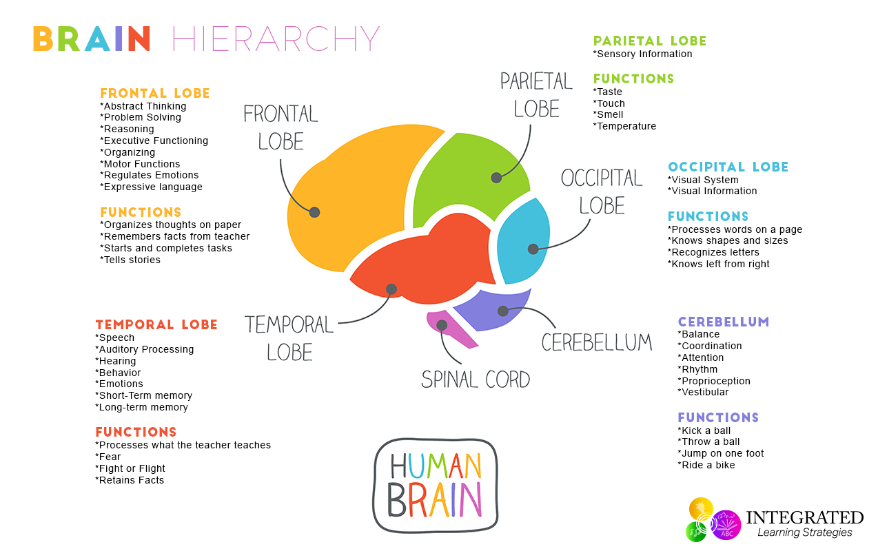 brain hierarchy when your child�s lower brain levels are